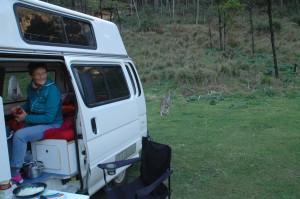Kängurus besuchen uns am Morgen