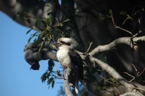 Kookaburra oder Lachender Hans