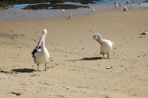 Pelikane bei der Körperpflege