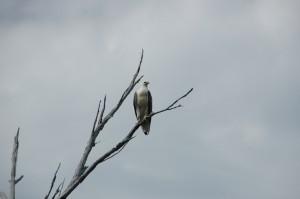 Der Seeadler wartet schon