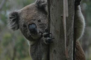 Koala wieder da, wo er sein soll