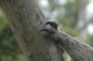Krallen des Koala: lieber nicht im Bein!