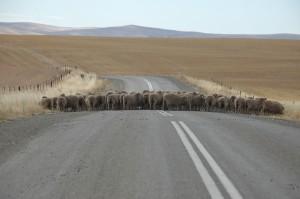 Schafe auf der Strasse