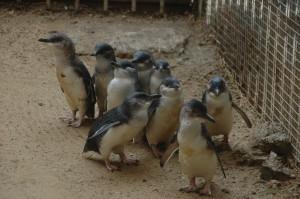Pinguine auf Granite Island: alle warten auf die Fütterung...