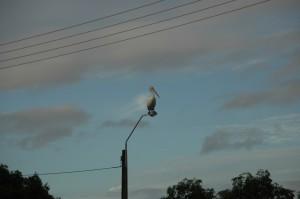Pelikan auf Straßenlampe