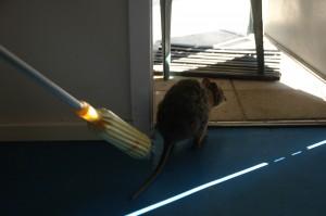 Der Quokka hat das Haus gestürmt - man muss ihm den Weg nach draußen weisen