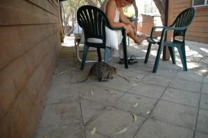 Quokka auf der Terrasse