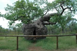 Dieser Affenbrotbaum diente mal als Gefängnis