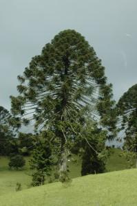 So sieht ein Bunya Baum aus!