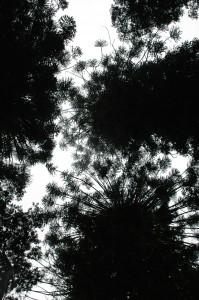 Bunya Bäume von unten