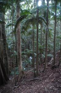 Palmen im Tamborine Nationalpark