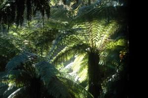 Farnbäume nahe der St Columba Falls
